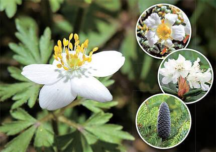 빙하기 때 한반도까지 서식 범위를 넓혔다가 고립된 식물들. 왼쪽부터 시계 방향으로 세바람꽃·암매·노랑만 병초·구상나무. 암매는 한라산에서만, 노랑만병초는 경북에서 , 구상나무는 한라산·지리산·덕유산 등에서 관찰된다. 구상나무는 분비나무가 고립된 뒤 별도의 종으로 진화한 경우다. [사진 동북아생물다양성연구소]