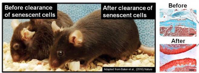 퇴행성관절염에 걸린 쥐(왼쪽)와 신약 후보물질을 투여받은 쥐(오른쪽). 약물 치료 후(아래 사진) 관절의 상태가 치료 전(위 사진)에 비해 건강하다. (출처: UNIST)
