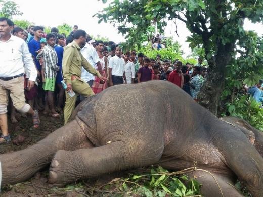 인도서 15명 죽인 '살인 코끼리', 결국 사살돼…