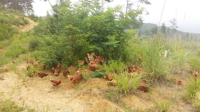청솔원의경남합천농가에서닭들이방사되어있다.  정진후씨제공