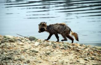 처참한 몰골 드러낸 금강, 야생동물도 비틀거린다'