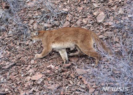 【포틀랜드( 미 오리건주)= AP/뉴시스】 오리건주의 산악지대에서 촬영된 북미산 야생사자 쿠가의 모습. 오리건주 후드산에서 9월10일 발견된 실종 등산객의 시신이 이 사자의 공격에 의한 것으로 판명되었다.