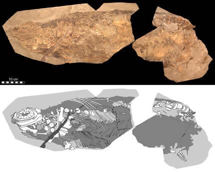 이번 연구의 분석대상인 어룡 화석. 피부와 장기 등 연한 조직까지 잘 보존돼 있다. 요한 린드그렌 제공.