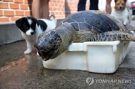 푸른바다거북 보는 강아지 (포항=연합뉴스) 손대성 기자 = 20일 경북 포항시 북구 흥해읍 용한리 앞바다에서 죽은 채 발견된 국제적 멸종위기종 푸른바다거북이 포항해양경찰서 영일만파출소에 놓여 있다. 포항해경은 국립해양생물자원관에 넘겨 처리했다. 2019.8.20 sds123@yna.co.kr