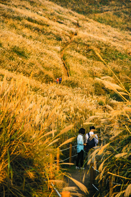 저녁 햇살에 황금빛으로 출렁이는 화왕산 억새 평원 사잇길로 연인이 다정하게 걸어가고 있다.