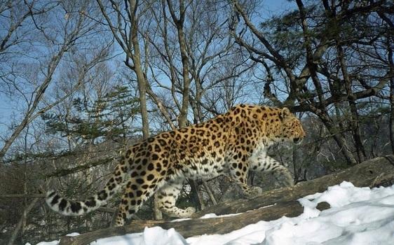러시아 연해주의 마지막 서식지에 살고 있는 한국표범. 아무르표범 및 호랑이 보전 연맹(ALTA) 제공