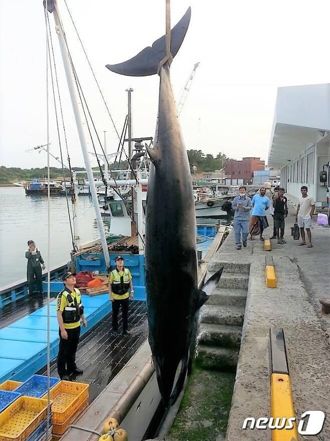 17일 오후 4시35분쯤 전남 여수시 남면 연도 서쪽 900m 해상에서 24톤급 어선 J호의 정치망 어장 안에 밍크고래 한 마리가 그물에 걸려 죽어 있는 것을 선장 김모씨(65)가 발견, 돌산해경센터에 신고했다. (여수해경 제공)2017.6.18/뉴스1 © News1 지정운 기자