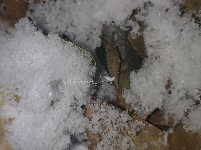 눈 속에 파묻힌 왕오색나비, 홍점알락나비 애벌레.