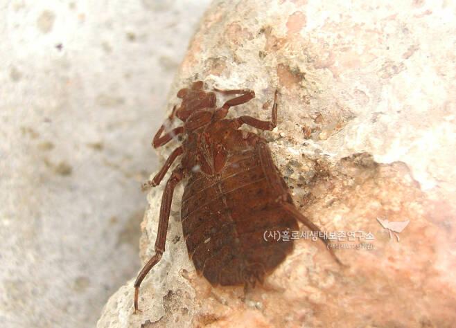 어리장수잠자리 애벌레.