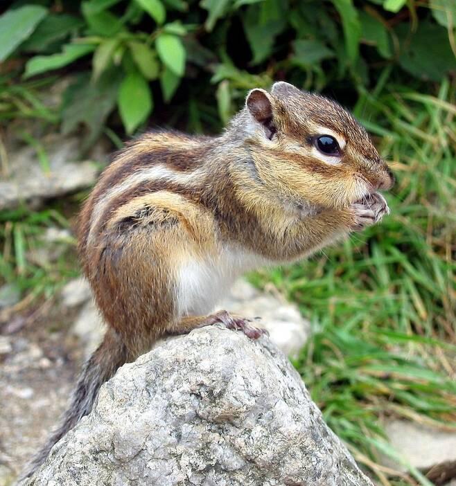 설악산에서 촬영한 다람쥐. 한반도 고유종일 가능성이 크다. 위키미디어 코먼스 제공.