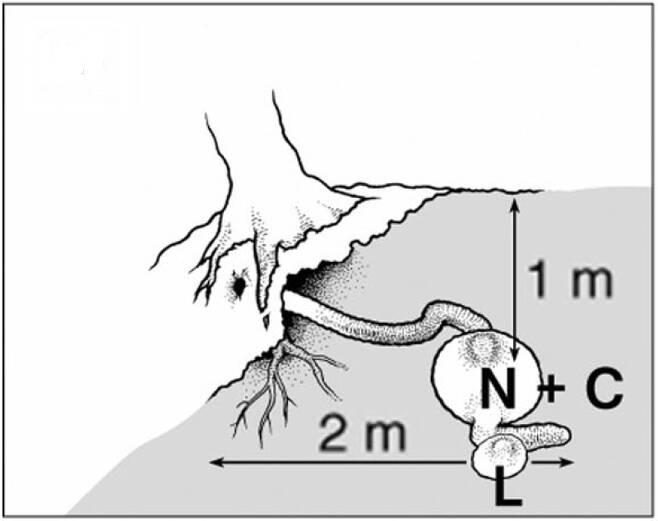 다람쥐 굴의 구조. N은 둥지, L은 화장실, C는 먹이 창고이다. 출처: 조영석 박사(2014)