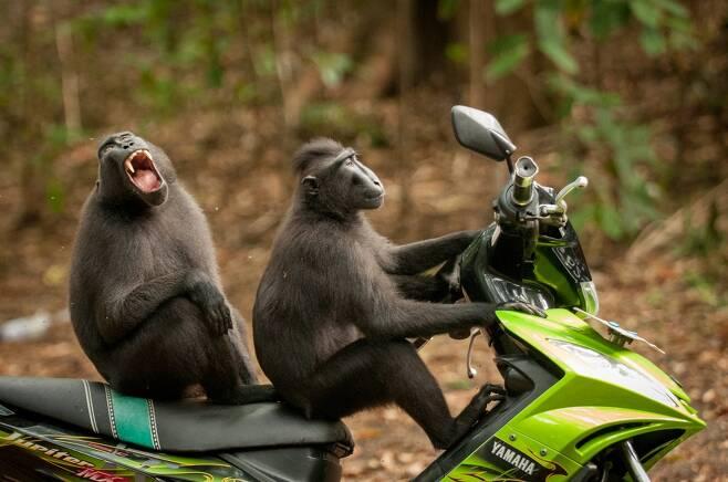 케이티 라벡 포스터의 작품 '원숭이의 탈출'. 인도네시아 탕코코 바투앙구스 야생보호구역에서 찍었다. 이 보호구역은 멸종위기종인 검정짧은꼬리원숭이의 서식처이다.