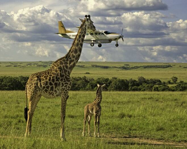 그레인 가이의 작품 '안전벨트 점검을 아웃소싱했나?'. 케냐의 마사이 마라에서 한 비행기가 기린들보다 아래에 날아가고 있는 것처럼 보인다.