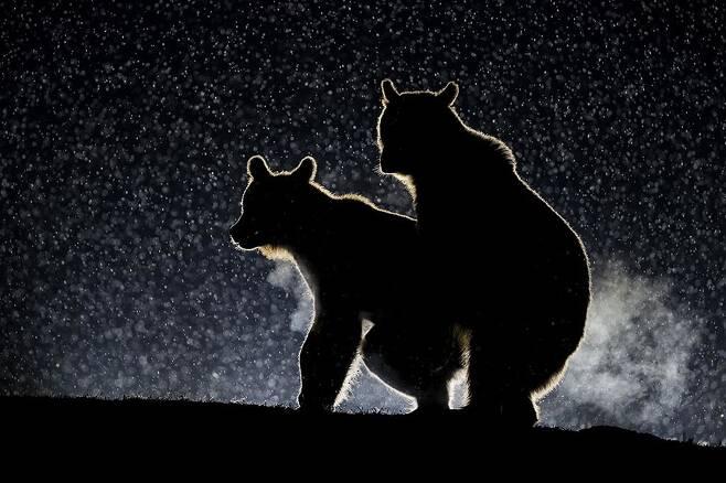 벤스 메이트가 루마니아 하기타에서 찍은 작품 '딱 걸렸네'. 유라시아불곰 두 마리가 짧은 밀회를 즐기고 있다.