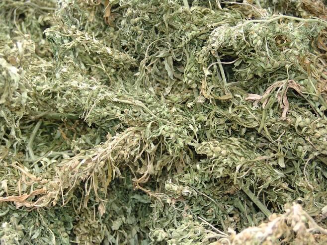말린 대마초의 모습. 한겨레 자료사진