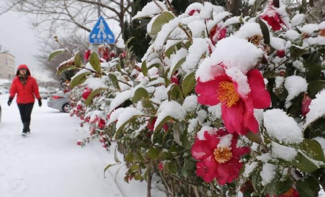 입춘인 4일 오전 제주시 오라동 한 도로변에 핀 동백꽃에 눈이 쌓여있다. 제주지방기상청에 따르면 이날 오전 7시 현재 제주도 산지에는 대설경보, 제주도 동부와 북부에는 대설주의보가 발효 중이다./사진=뉴스1