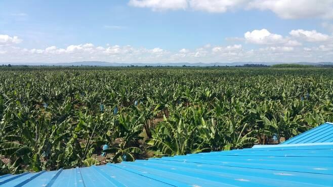 필리핀 바나나 농장 [중앙포토]