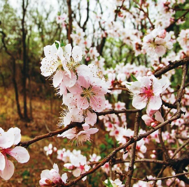 안산 산벚꽃