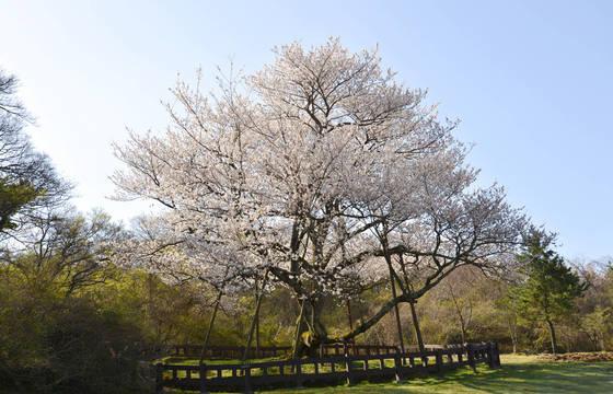 제주시 봉개동에 있는 천연기념물 제159호 왕벚나무가 지난 4월 화사하게 꽃을 피웠다.[제주도 제공=연합뉴스]