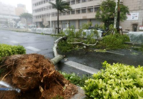 초강력 태풍 ''짜미''의 영향으로 일본 서남단 오키나와(沖繩)현 나하(那覇)시에 29일 폭우를 동반한 강풍이 불며 거리의 가로수가 뿌리째 뽑혀 있다. 오키나와 교도=연합뉴스