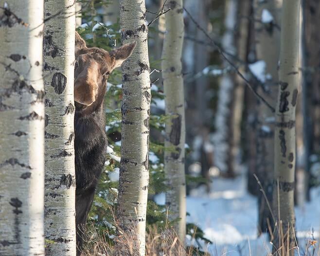 꼭꼭 숨어라, 엘크 보일라. 캐나다 앨버타주에서 Jamie Bussey가 나무 뒤에서 고개를 내민 엘크를 만난 순간.