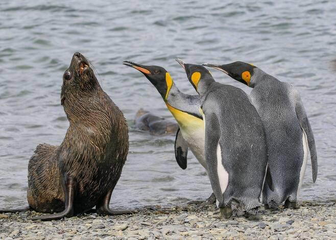 말싸움은 임금펭귄을 못 이기지. 사우스조지아섬에 사는 임금펭귄 세 마리가 물개에게 호통을 치는 듯한 행동을 하고 있다. 미국 Amy Kennedy의 작품.