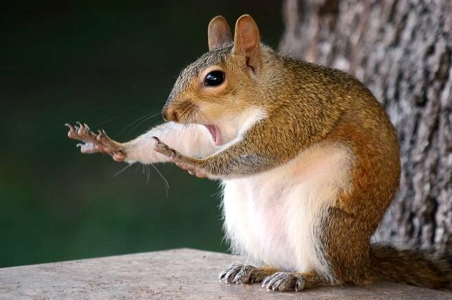 내 눈을 바라봐, 이얍. 미국 브랜던의 한 숲에 사는 동부회색다람쥐가 앞발을 쭉 뻗고 무언가에 집중하고 있다. 미국 Mary McGowan이 찍었다.