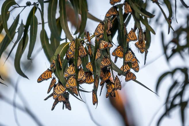 제왕나비는 곤충류 가운데 보기 드물게 장거리를 이동한다. 봄과 여름에는 캐나다 남부와 미국의 광범위한 지역에서 번식하다가 겨울이 되면 큰 무리를 지어 따뜻한 남쪽지방으로 날아가는 장관을 연출한다. 플리커