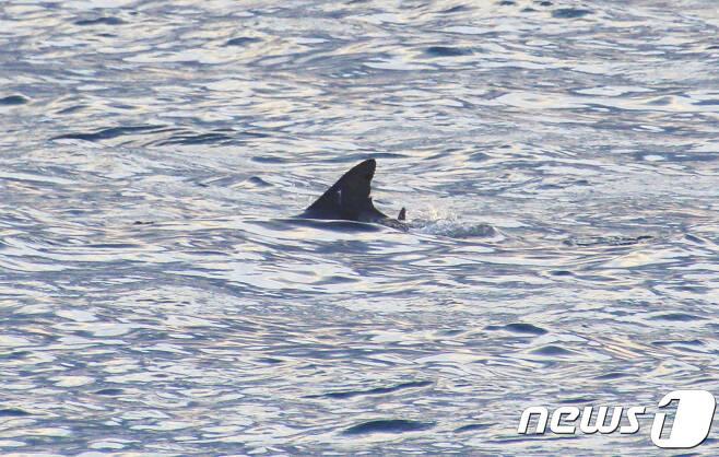 지난 1월6일 제주 서귀포시 대정읍 앞바다에서 남방큰돌고래 제돌이가 포착됐다.(사진 핫핑크돌핀스 제공)© News1