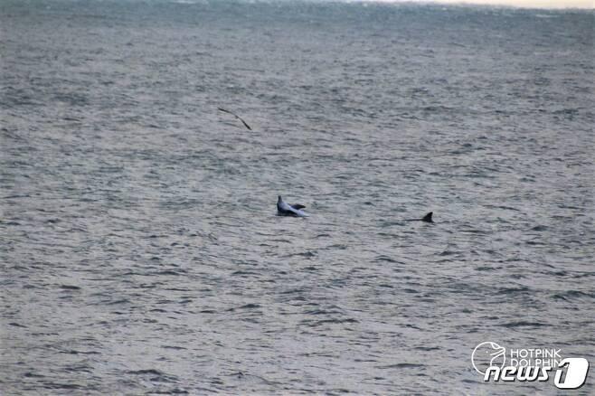 지난 1월6일 제주 서귀포시 대정읍 앞바다에서 포착된 남방큰돌고래 제돌이 모습.(사진 핫핑크돌핀스 제공)© News1