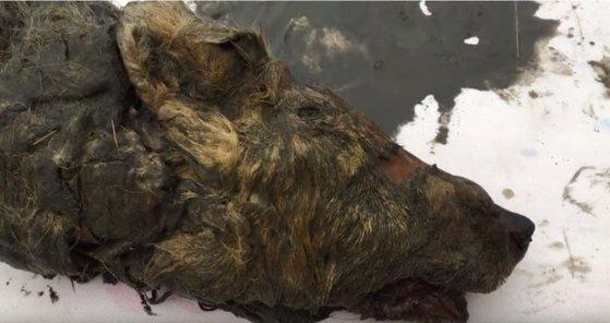 러시아 시베리아 야쿠티아 북부 지방의 영구 동토층에서 발견된 고대 늑대 머리. [사진 시베리아타임스 유튜브]