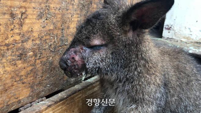 지난달 말 서울 마포구 한 동물카페 내 왈라비의 모습. 얼굴에 심한 염증을 앓고 있지만 격리조차 돼있지 않은 상태였다. 동물복지문제연구소 어웨어 제공.