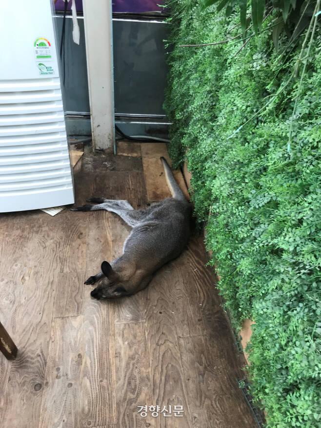 지난 10일 서울 마포구 한 동물카페 내 왈라비의 모습. 김기범기자