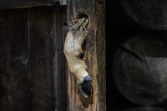 삼지연의 김정일 국방위원장이 태어났다는 오두막 출입문 손잡이로 사용되고 있는 노루 발. [AFP=연합뉴스]