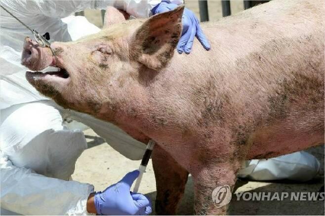 아프리카돼지열병 혈액검사 (사진=연합뉴스)