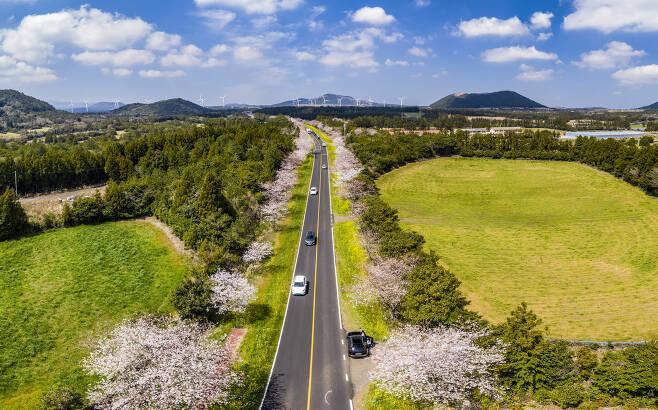 제주 봄 명소인 서귀포시 녹산로 일대 유채꽃길 모습.