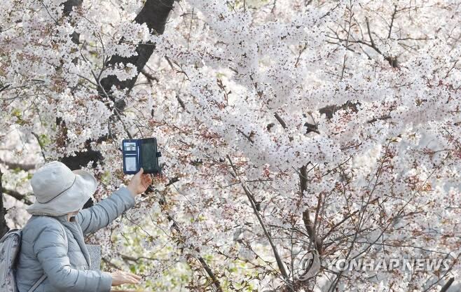 서울 양재천에 핀 벚꽃 [연합뉴스 자료사진]