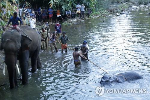 임신한 인도코끼리 죽게 한 '코코넛 폭탄' 제조범 체포 [AP=연합뉴스]