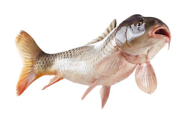외딴 웅덩이에도 잉어가 살 수 있는 건 청둥오리가 먹은 알의 일부가 살아남아 부화하기 때문이란 주장이 나왔다. 게티이미지뱅크