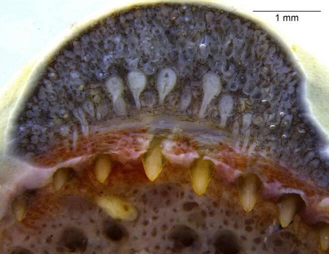 뱀을 닮은 양서류 '시실리언'의 입을 확대한 모습 독사와 비슷한 이빨샘이 드러나 있다. [Butantan Institute, Brazil 제공/ 재판매 및 DB 금지]