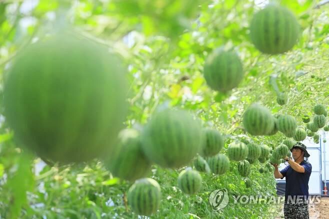 '아담한 애플수박 어때요' [연합뉴스 자료사진]
