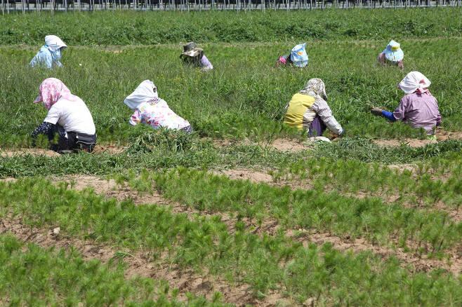 경북 봉화군 춘양면 '춘양 양묘 사업소' 앞 노지에서 자라고 있는 금강송 묘목들. 마을 주민들이 잡초를 제거하는 중이다. 김선식 기자