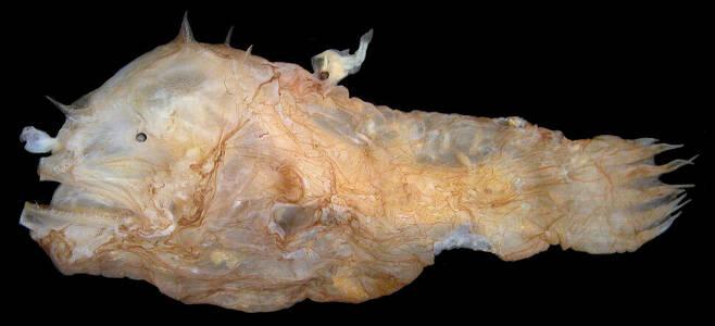심해 아귀의 다른 종 암컷 등에 왜소형 수컷이 접합해 있다. 시어도어 피치 제공.