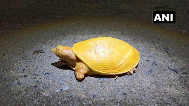 지난달 인도 북동부 오디샤주 발라소르 해안에서 발견된 노란색 거북. 출처=ANI통신 트위터