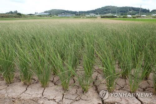 가뭄으로 갈라진 논 바닥 [연합뉴스 자료]