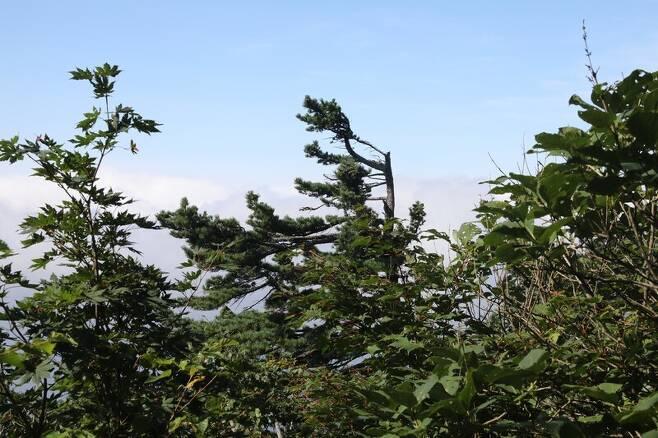 설악산 정상 인근에서 강한 바람으로 인해 한 방향으로 휜 나무가 보인다. 박종식 기자 anaki@hani.co.kr