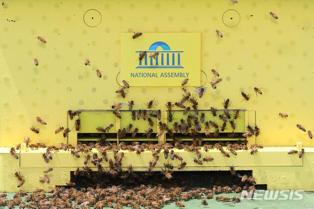 [서울=뉴시스] 장세영 기자 = 꿀벌들이 21일 서울 여의도 국회도서관 옥상 벌통에 꿀을 모으고 있다. 2020.05.21. photothink@newsis.com