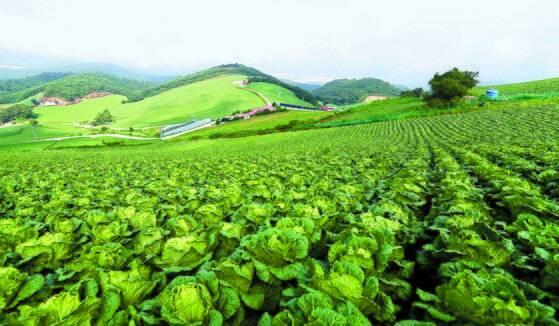 국내 최대 고랭지 채소재배 단지 중 한 곳인 강원도 강릉시 왕산면 대기리 안반데기 배추밭 모습. 뉴스1