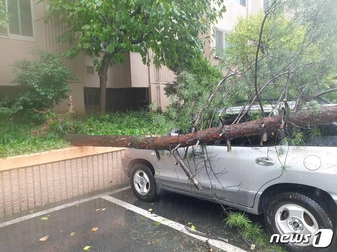 태풍 '하이선'의 영향으로 7일 오전 대구 수성구 한 아파트 화단의 나무가 쓰러졌다. (대구소방안전본부 제공) 2020.9.7©뉴스1