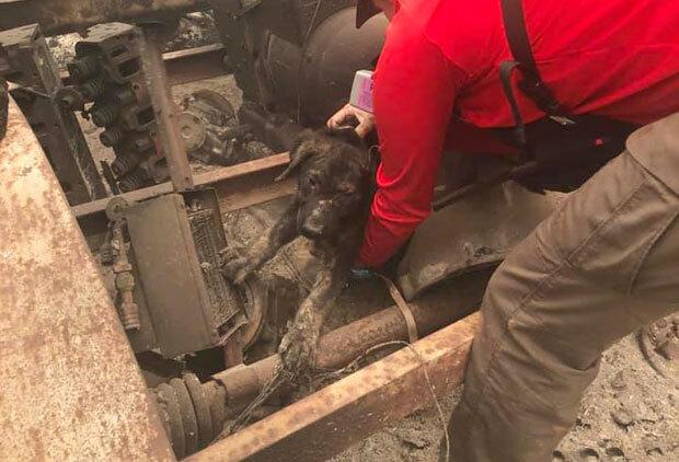 13일(현지시간) AP통신은 캘리포니아주 뷰트카운티 화재 현장에서 살아남은 개 한 마리가 구조됐다고 전했다./사진=뷰트카운티보안관사무소